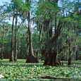 Cypress Trees, Caddo Lake State Park, c. 2001